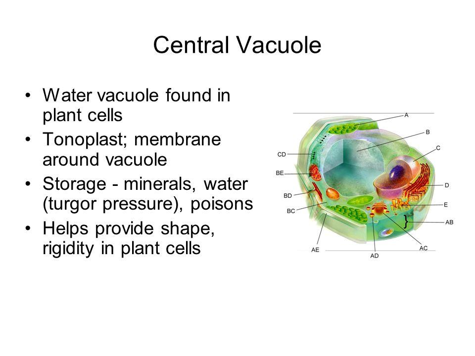 Central Vacuole Water vacuole found in plant cells Tonoplast; membrane around vacuole Storage - minerals, water (turgor pressure), poisons Helps provi