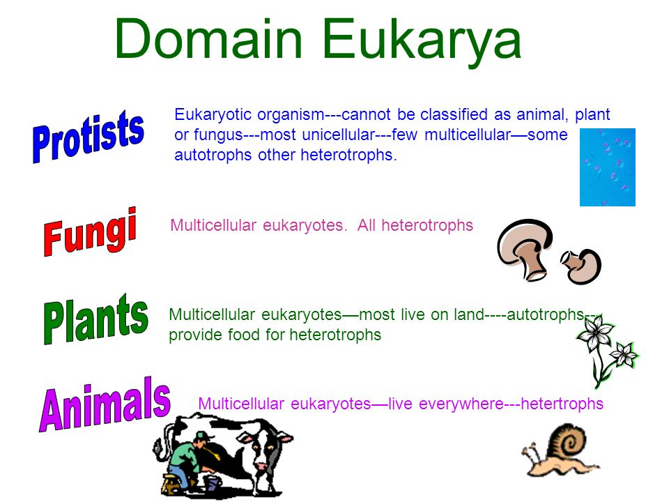 Domain Eukarya Eukaryotic organism---cannot be classified as animal, plant or fungus---most unicellular---few multicellularsome autotrophs other heter
