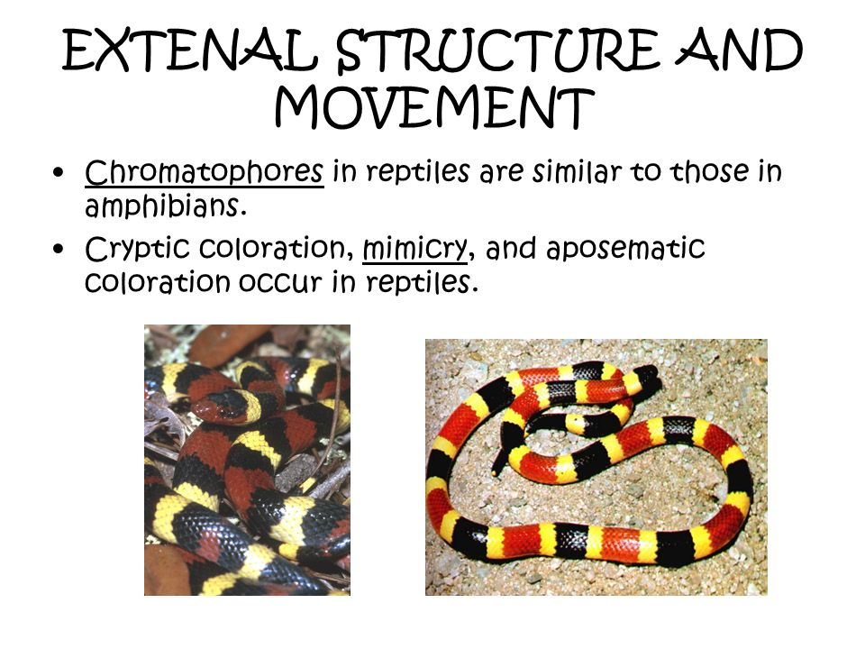 EXTENAL STRUCTURE AND MOVEMENT Chromatophores in reptiles are similar to those in amphibians. Cryptic coloration, mimicry, and aposematic coloration o