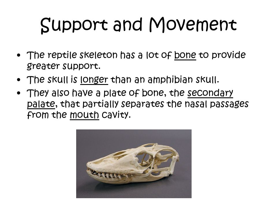 Support and Movement The reptile skeleton has a lot of bone to provide greater support. The skull is longer than an amphibian skull. They also have a