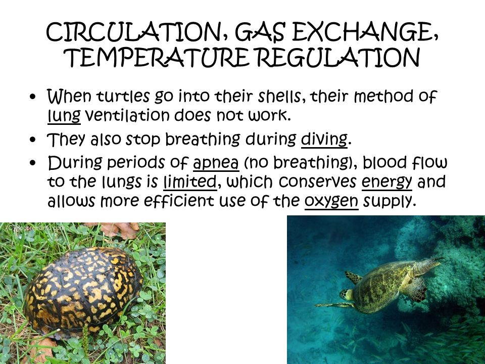 CIRCULATION, GAS EXCHANGE, TEMPERATURE REGULATION When turtles go into their shells, their method of lung ventilation does not work. They also stop br
