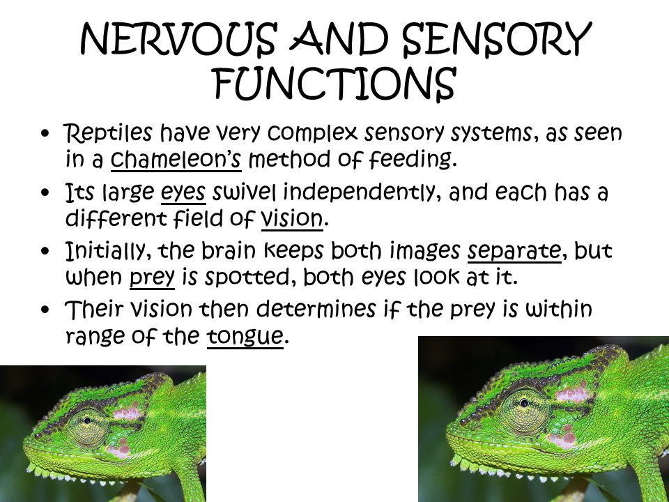 NERVOUS AND SENSORY FUNCTIONS Reptiles have very complex sensory systems, as seen in a chameleons method of feeding. Its large eyes swivel independent