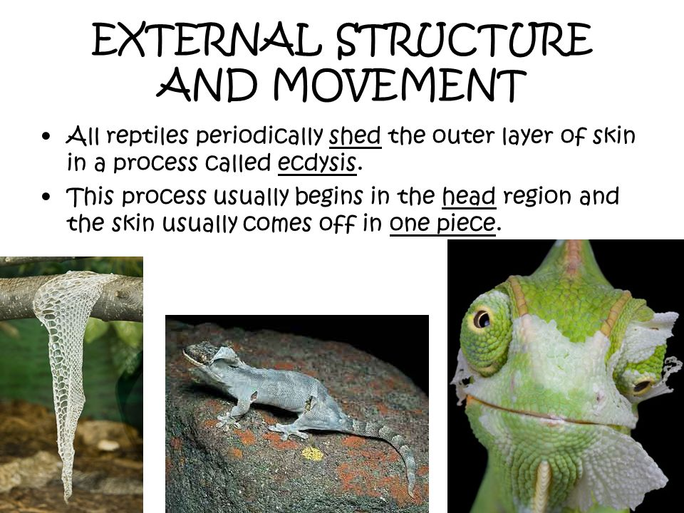 EXTERNAL STRUCTURE AND MOVEMENT All reptiles periodically shed the outer layer of skin in a process called ecdysis. This process usually begins in the