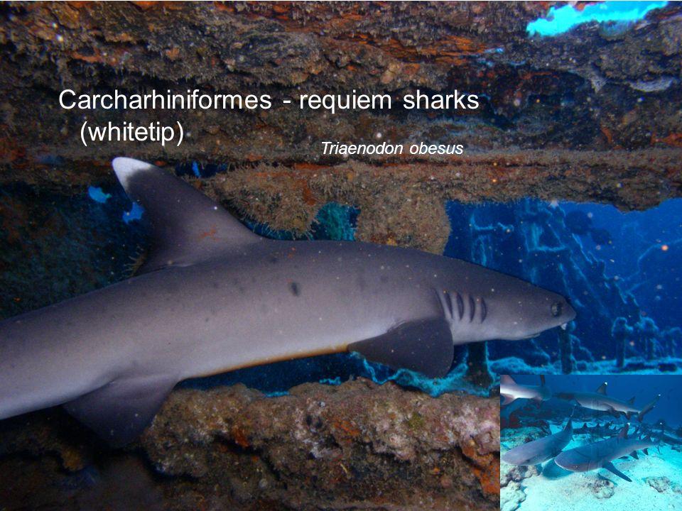 Carcharhiniformes - requiem sharks (whitetip) Triaenodon obesus
