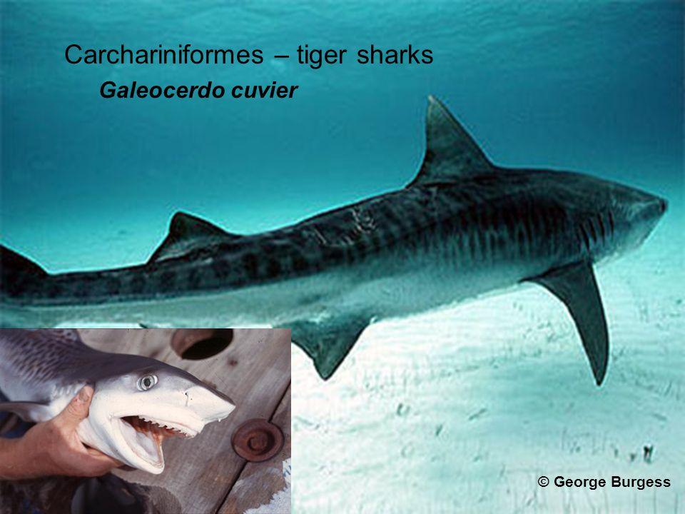 Carchariniformes – tiger sharks Galeocerdo cuvier © George Burgess