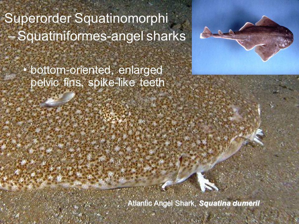 Superorder Squatinomorphi –Squatiniformes-angel sharks bottom-oriented, enlarged pelvic fins, spike-like teeth Atlantic Angel Shark, Squatina dumeril