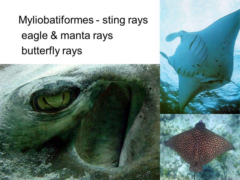 Myliobatiformes - sting rays eagle & manta rays butterfly rays