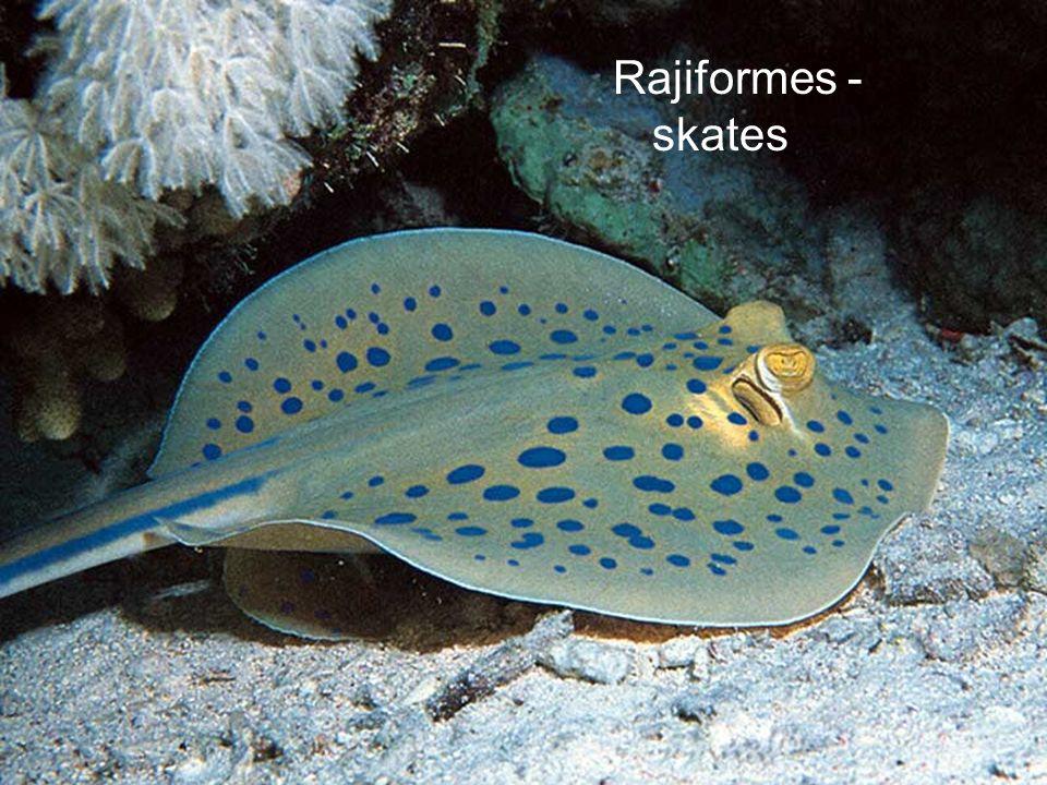 Rajiformes - skates