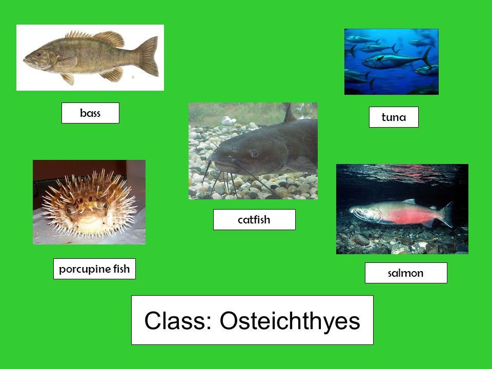 Class: Osteichthyes bass tuna catfish porcupine fish salmon