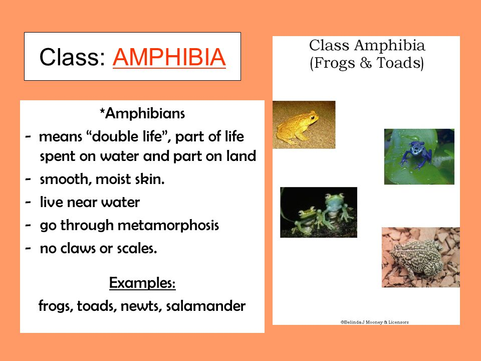 Class: AMPHIBIA *Amphibians - means double life, part of life spent on water and part on land -smooth, moist skin.