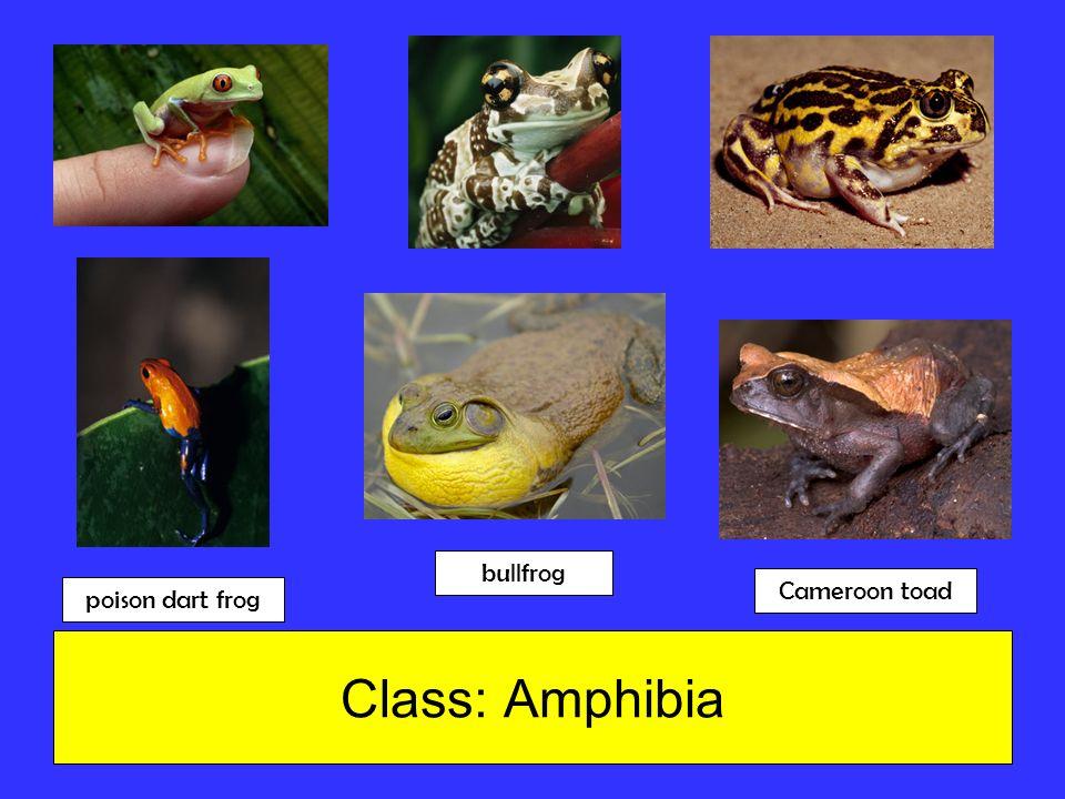 Class: Amphibia bullfrog Cameroon toad poison dart frog