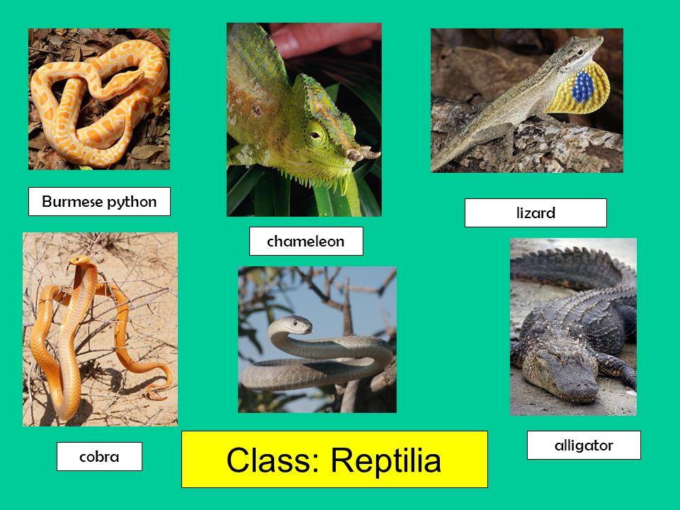Class: Reptilia chameleon lizard Burmese python cobra alligator