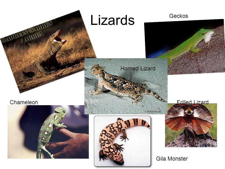 Lizards Komodo Dragon Geckos Frilled Lizard Horned Lizard Chameleon Gila Monster