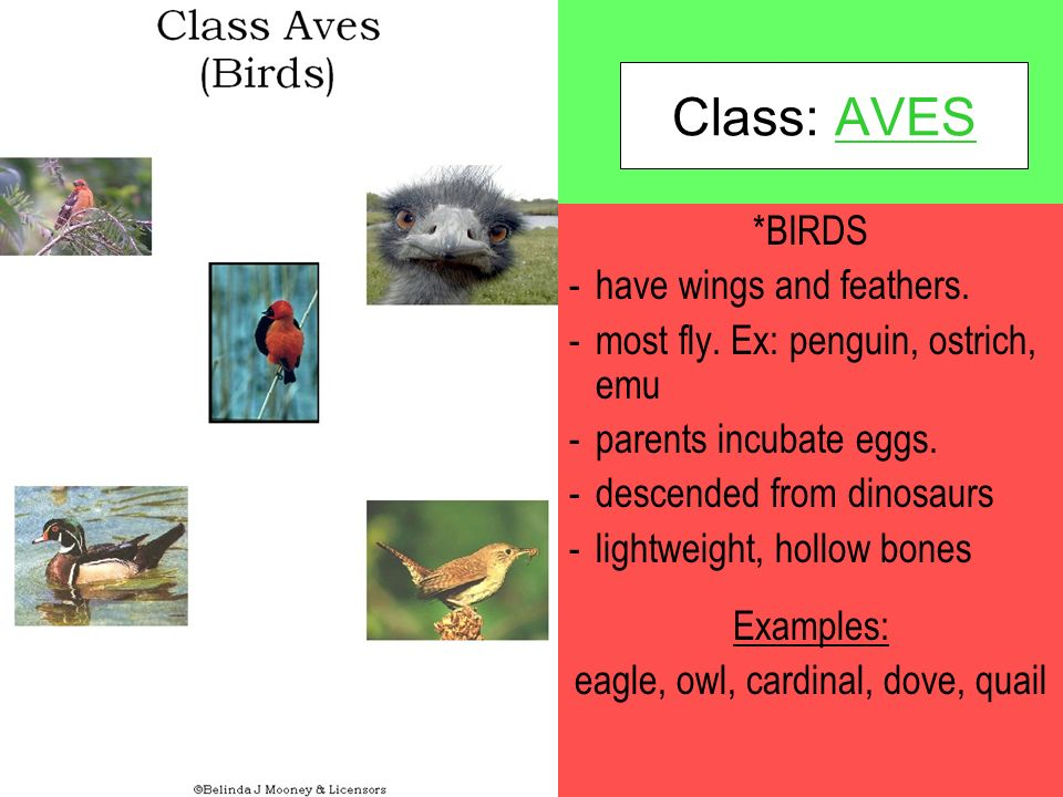 Class: AVES *BIRDS -have wings and feathers.-most fly.