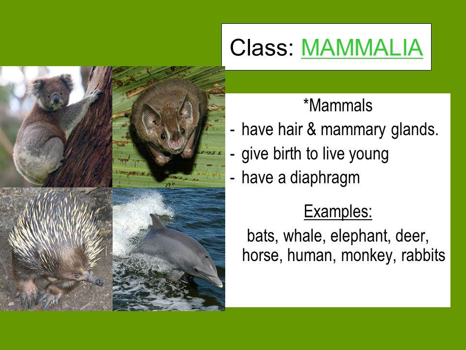 Class: MAMMALIA *Mammals -have hair & mammary glands.