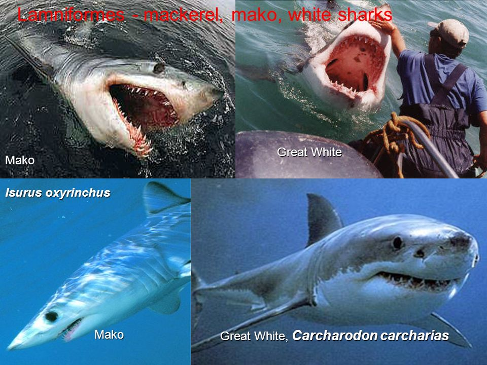 Lamniformes - mackerel, mako, white sharksMako Great White, Carcharodon carcharias Mako Great White Isurus oxyrinchus