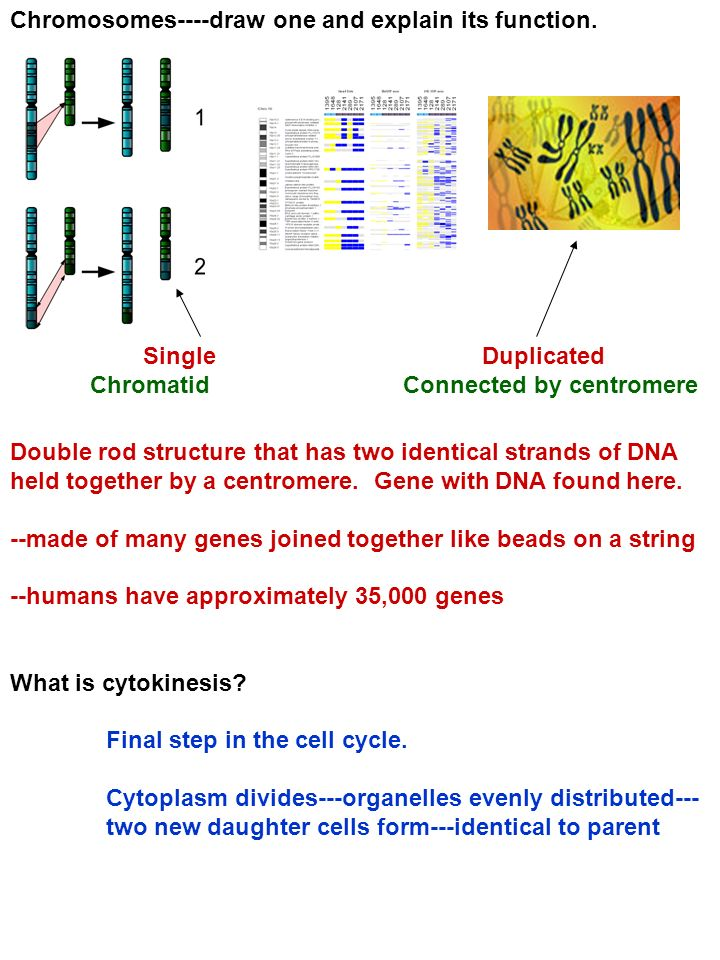 Chromosomes----draw one and explain its function. Double rod structure that has two identical strands of DNA held together by a centromere. Gene with