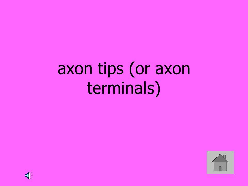 axon tips (or axon terminals)