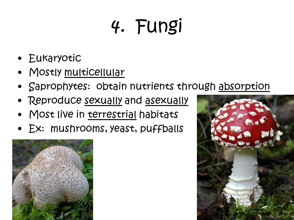 4. Fungi Eukaryotic Mostly multicellular Saprophytes: obtain nutrients through absorption Reproduce sexually and asexually Most live in terrestrial ha