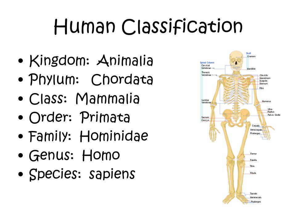 Human Classification Kingdom: Animalia Phylum: Chordata Class: Mammalia Order: Primata Family: Hominidae Genus: Homo Species: sapiens