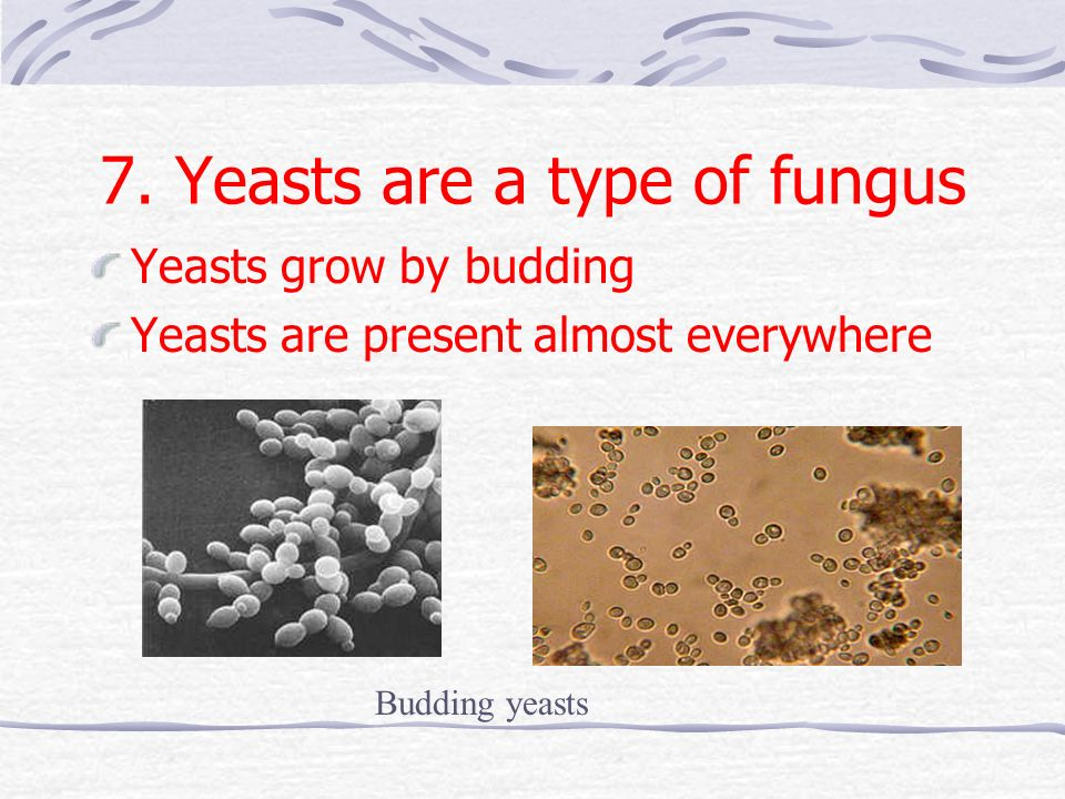 7. Yeasts are a type of fungus Yeasts grow by budding Yeasts are present almost everywhere Budding yeasts