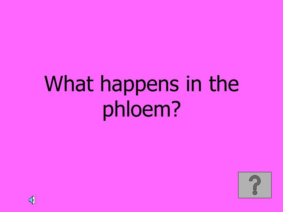 What happens in the phloem?