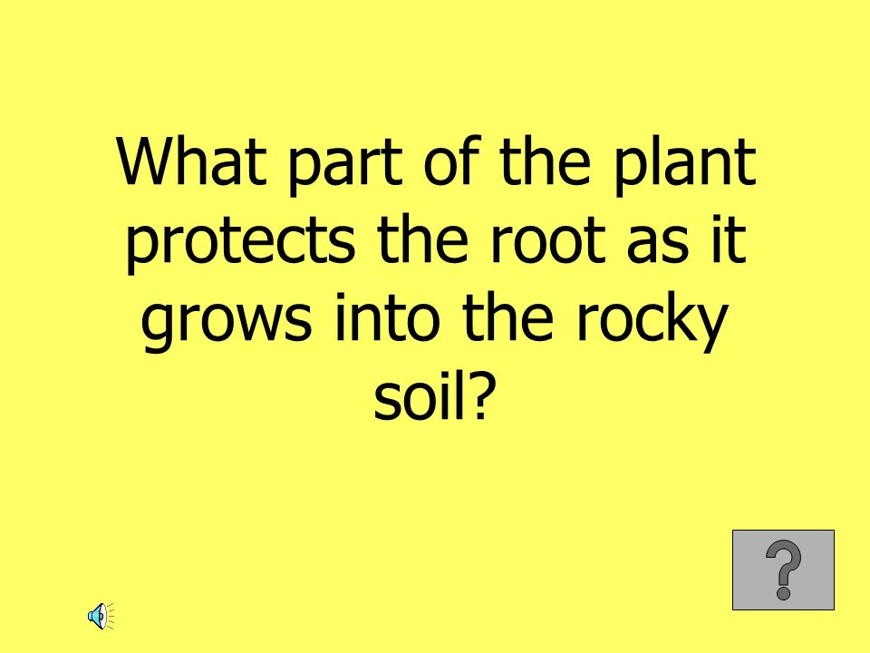 What part of the plant protects the root as it grows into the rocky soil?