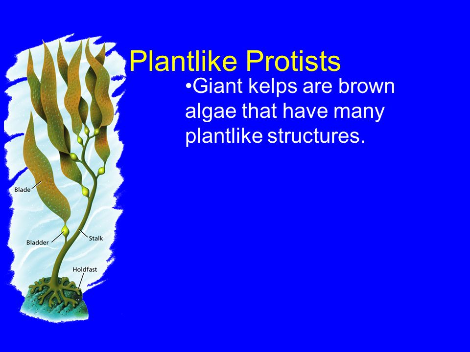 Plantlike Protists Giant kelps are brown algae that have many plantlike structures. - Protists