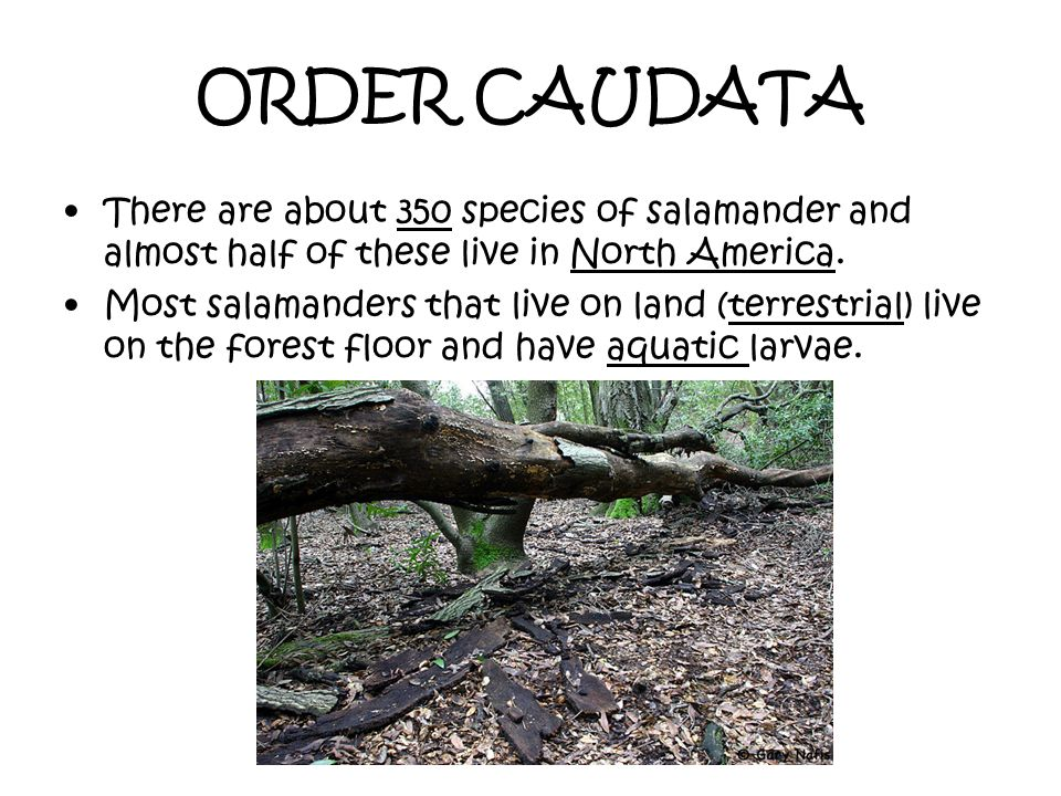 ORDER CAUDATA There are about 350 species of salamander and almost half of these live in North America. Most salamanders that live on land (terrestria