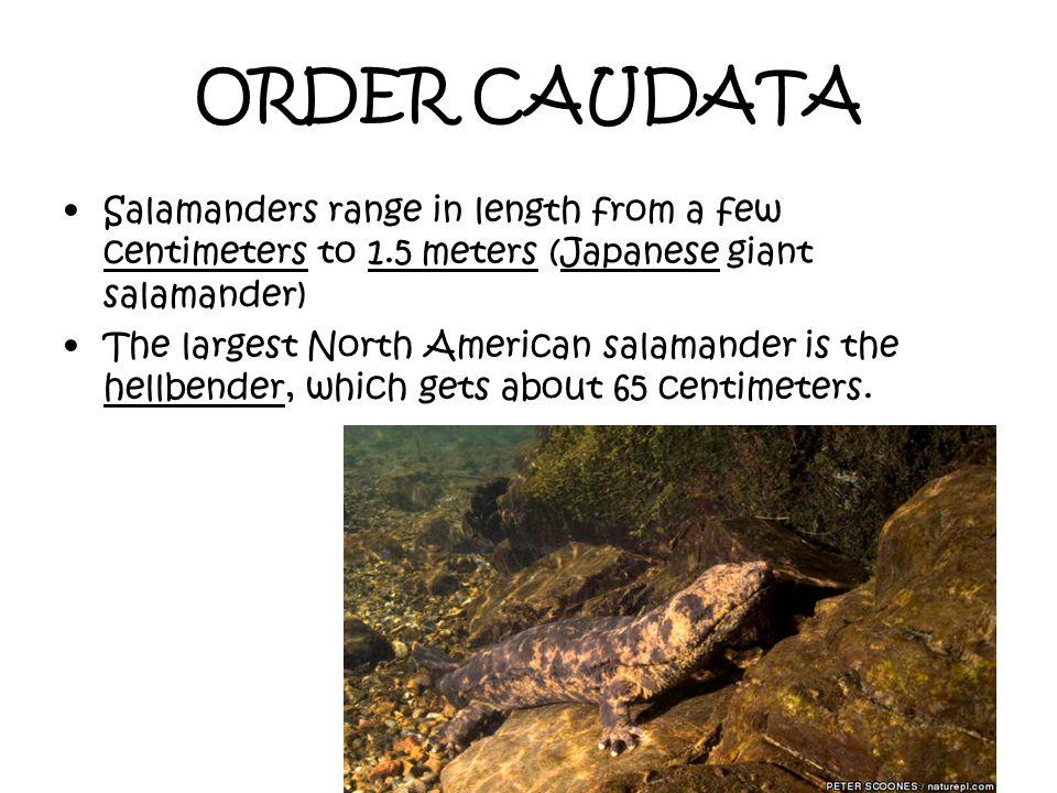 ORDER CAUDATA Salamanders range in length from a few centimeters to 1.5 meters (Japanese giant salamander) The largest North American salamander is th