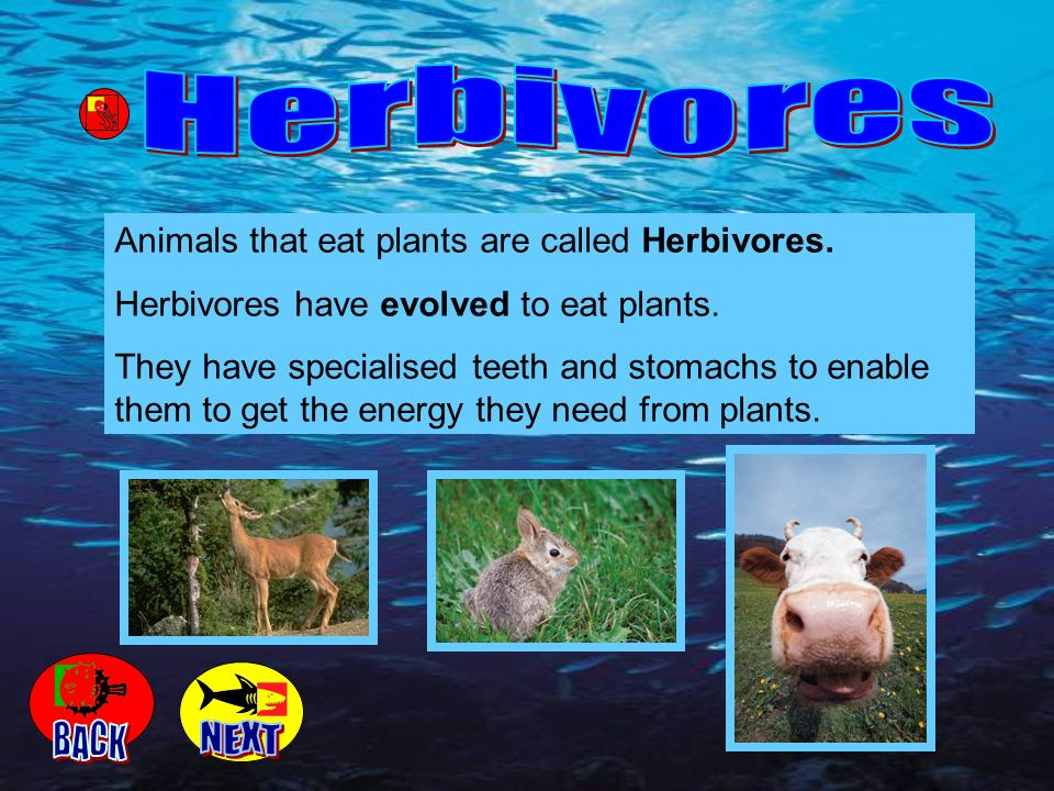 Animals that eat plants are called Herbivores. Herbivores have evolved to eat plants. They have specialised teeth and stomachs to enable them to get t