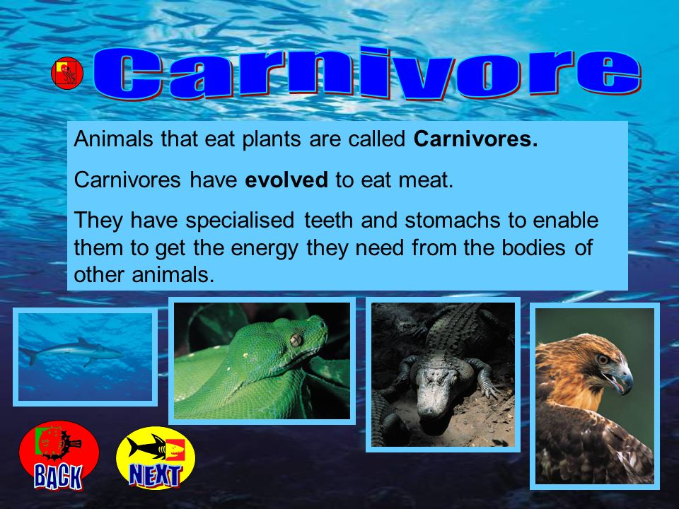 Animals that eat plants are called Carnivores. Carnivores have evolved to eat meat. They have specialised teeth and stomachs to enable them to get the