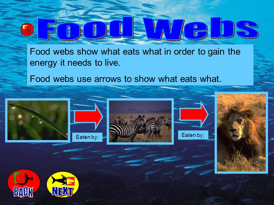 Food webs show what eats what in order to gain the energy it needs to live. Food webs use arrows to show what eats what. Eaten by: