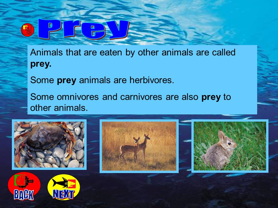 Animals that are eaten by other animals are called prey. Some prey animals are herbivores. Some omnivores and carnivores are also prey to other animal