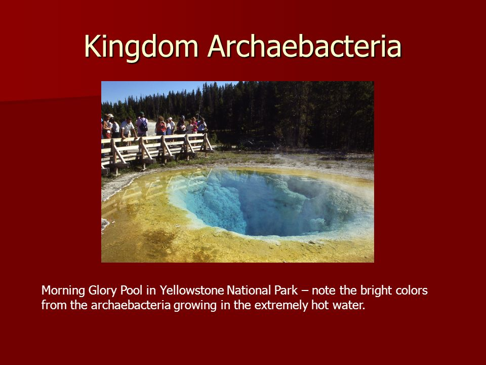 Kingdom Archaebacteria Morning Glory Pool in Yellowstone National Park – note the bright colors from the archaebacteria growing in the extremely hot w