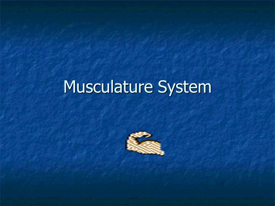 Musculature System