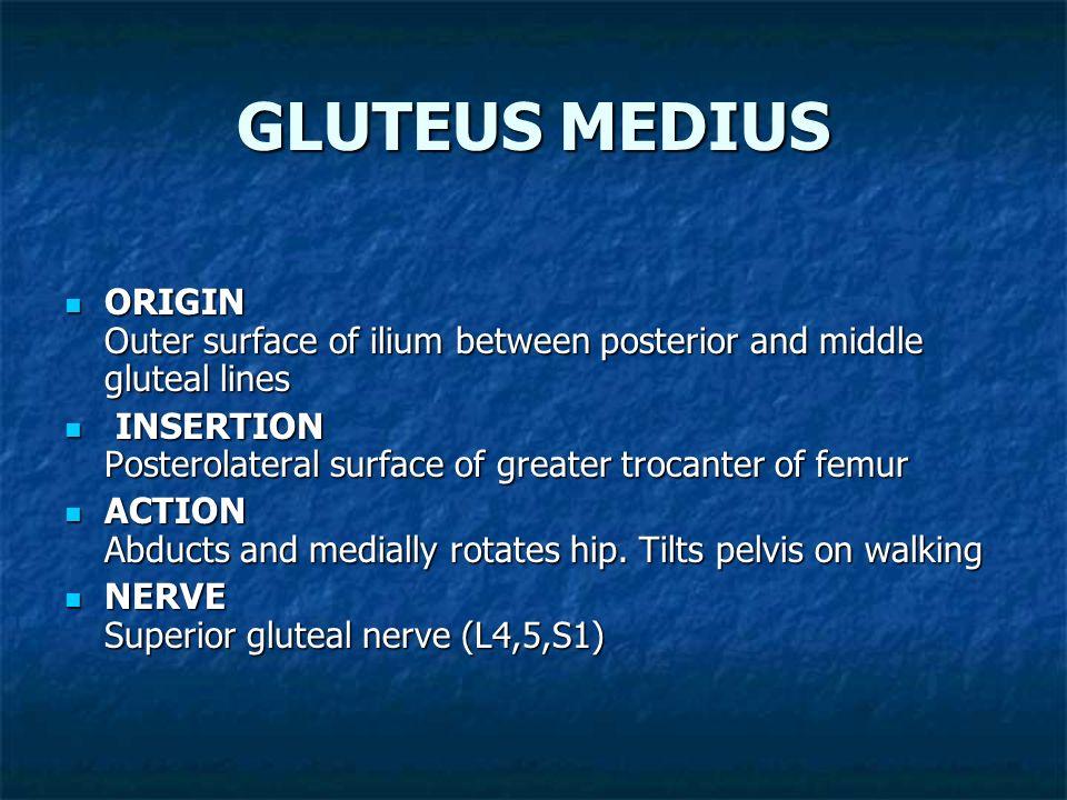GLUTEUS MAXIMUS ORIGIN Outer surface of ilium behind posterior gluteal line and posterior third of iliac crest lumbar fascia, lateral mass of sacrum,