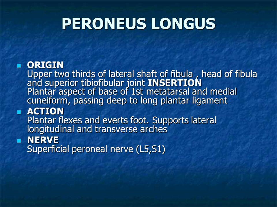 BICEPS FEMORIS ORIGIN Long head: upper inner quadrant of posterior surface of ischial tuberosity. Short head:middle third of linea aspera, lateral sup