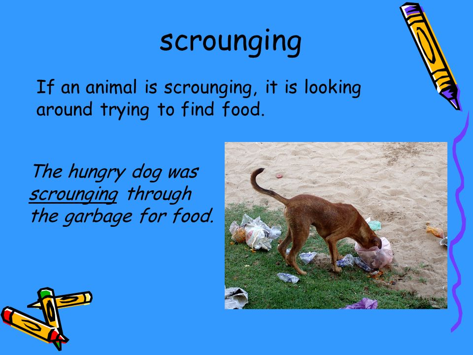 If an animal is scrounging, it is looking around trying to find food. The hungry dog was scrounging through the garbage for food. scrounging