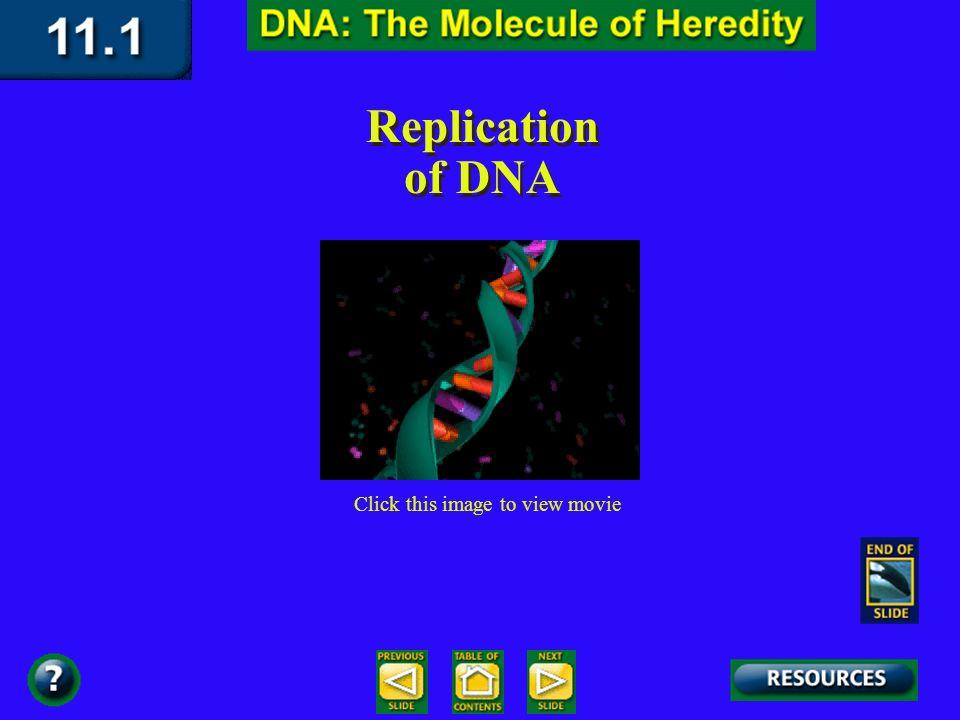 Copying DNA Original DNA Original DNA Strand Free Nucleotides New DNA molecule New DNA Strand New DNA molecule