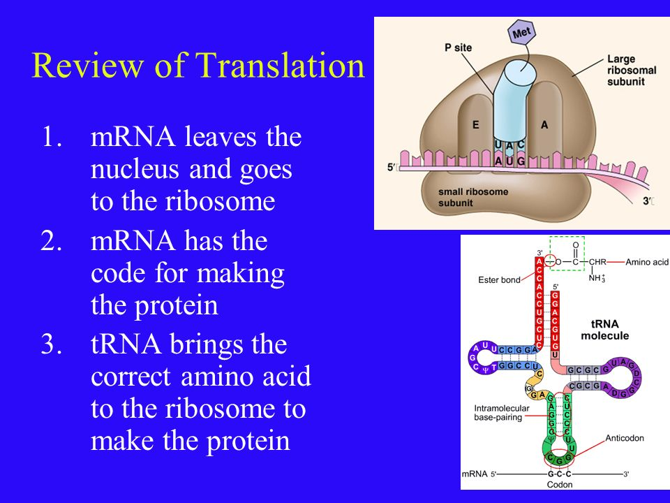 Now try something different- here is the mRNA – write what the DNA code was for this mRNA. AUG UUU ACA AAA GGG GAG GUC UAA TAC AAA TGT TTT CCC CTC CAG