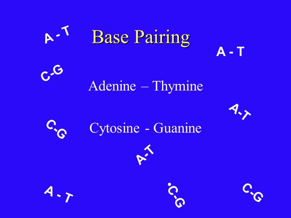 Nitrogen Bases Nitrogen Bases : adenine (A), guanine (G) cytosine (C), and thymine (T). Adenine (A)Guanine (G) Thymine (T)Cytosine (C) PyrimidinesPuri