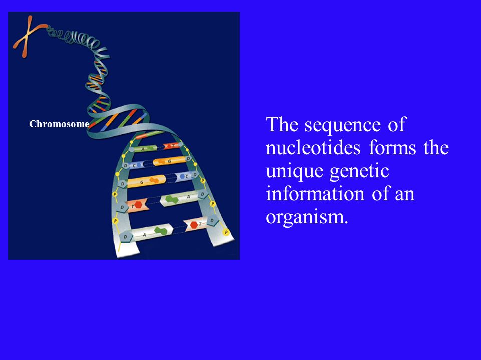 Nucleotides join together to form long chains Phosphate groups and deoxyribose molecules- form the backbone of the chain The structure of DNA It is a