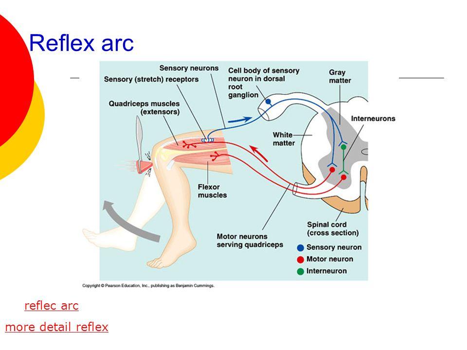 Reflex arc reflec arc more detail reflex