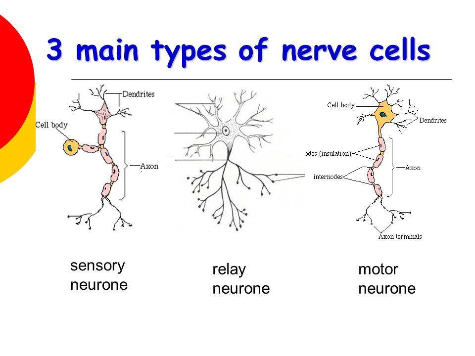 3 main types of nerve cells sensory neurone relay neurone motor neurone