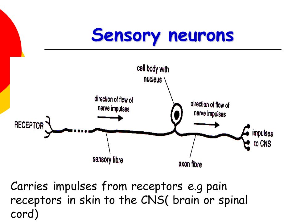 Sensory neurons Carries impulses from receptors e.g pain receptors in skin to the CNS( brain or spinal cord)
