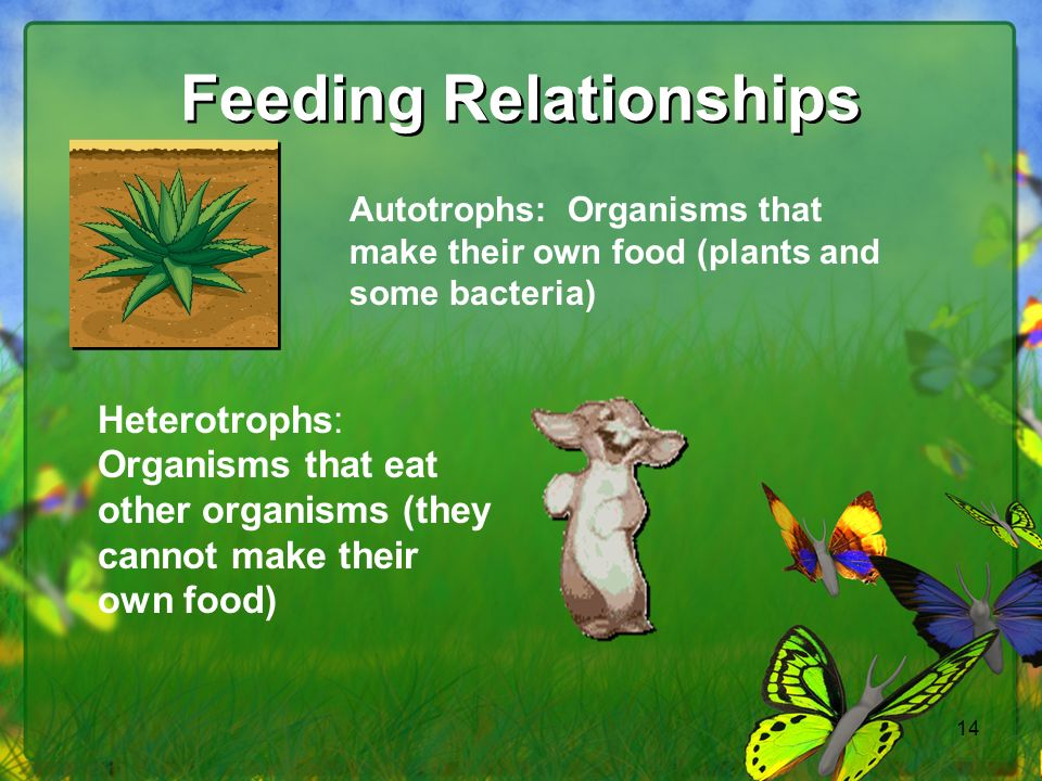 14 Feeding Relationships Autotrophs: Organisms that make their own food (plants and some bacteria) Heterotrophs: Organisms that eat other organisms (they cannot make their own food)