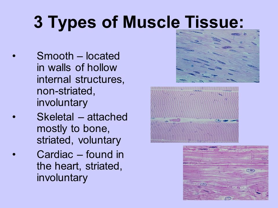 3 Types of Muscle Tissue: Smooth – located in walls of hollow internal structures, non-striated, involuntary Skeletal – attached mostly to bone, stria