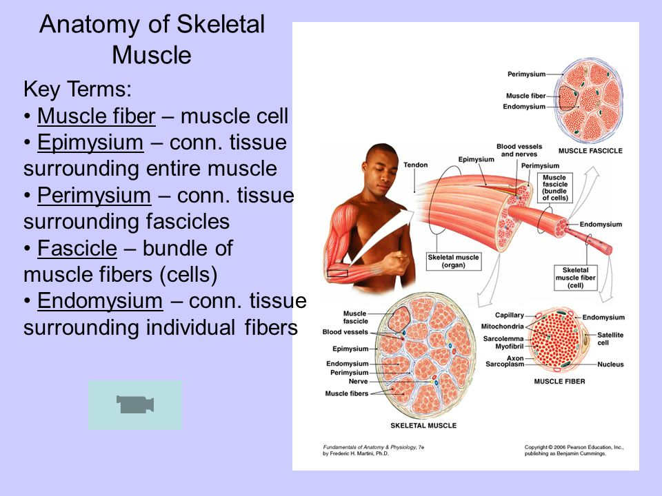 Anatomy of Skeletal Muscle Key Terms: Muscle fiber – muscle cell Epimysium – conn. tissue surrounding entire muscle Perimysium – conn. tissue surround