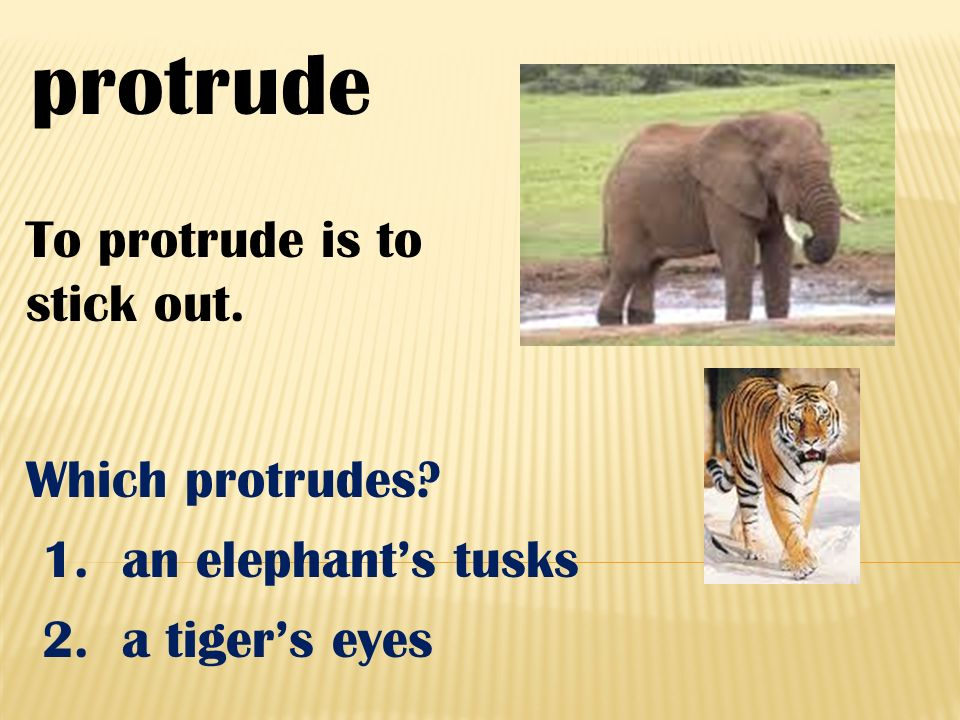 protrude To protrude is to stick out. Which protrudes? 1. an elephants tusks 2. a tigers eyes